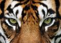 occhi-tigre.jpg